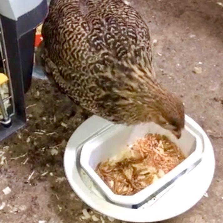 Quels aliments privilégier pour un poulet enrhumé ?