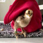 Maintenir un poussin au chaud (urgences)
