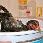 Bain de poules