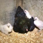 Les traitements préventifs (poule et poulailler)