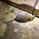 Lutter contre les rats (méthode 1)
