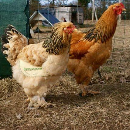 Protéger les poules